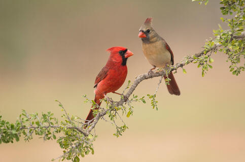 h_a1_3725_3_northern-cardinal_carole_wiley_kk_adult-male-and-adult-female_0